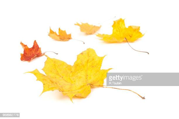 yellow maple leaf isolated on white background - autumn falls stock pictures, royalty-free photos & images