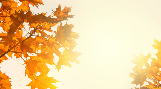 Yellow maple leaves on the background of sunny autumn sky. Autumn foliage background. Copy space 1011082316
