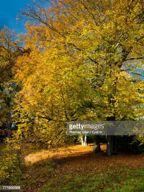 Yellow Maple Tree In Forest During Autumn