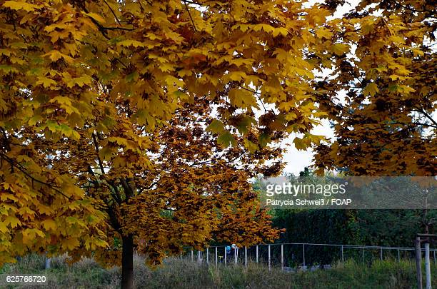 Yellow maple tree in park
