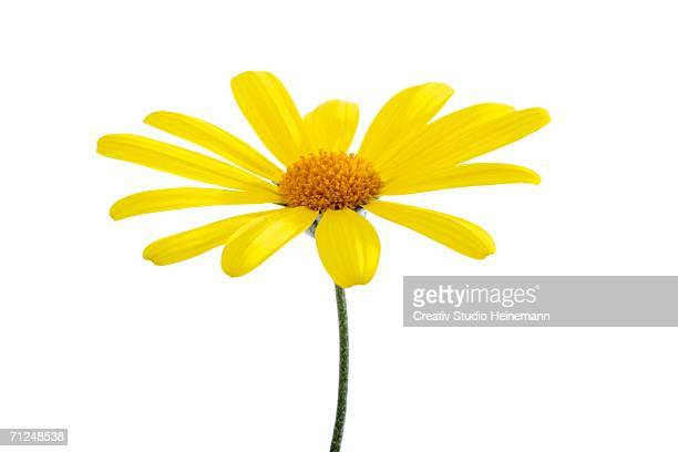 yellow marguerite - marguerite daisy stock photos and pictures