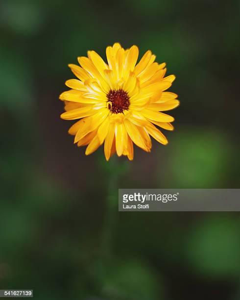 Yellow marigold (Calendula) flower in bloom