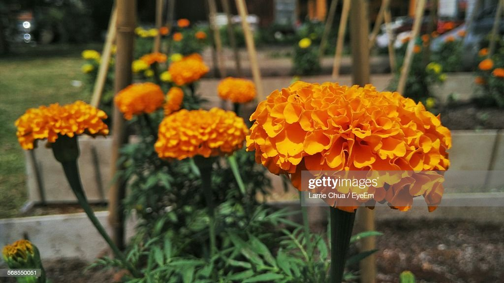 Yellow Marigold Flowers Blooming Outdoors : Stock Photo