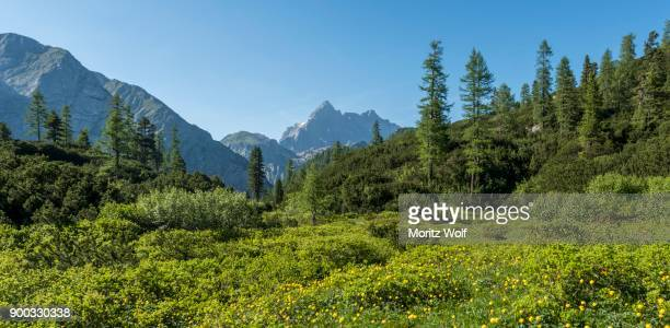 yellow marigold flowers in a meadow, view of the watzmann from the funtenseetauern, berchtesgaden national park, berchtesgadener land, upper bavaria, bavaria, germany - watzmann massif stock photos and pictures