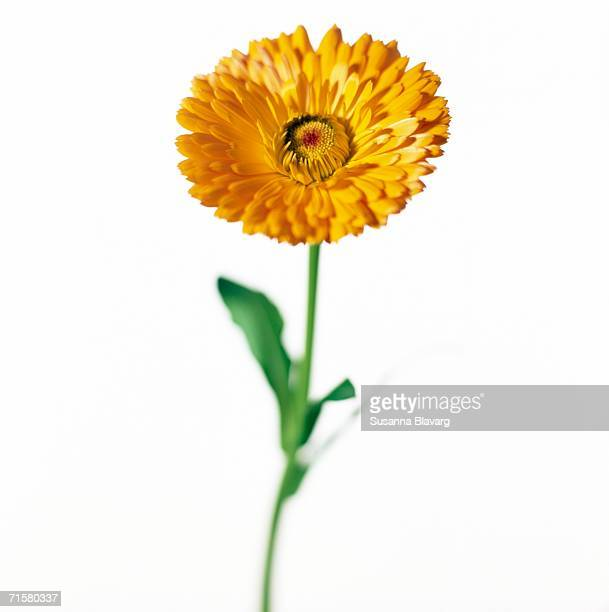 A yellow marigold on a white background close-up.