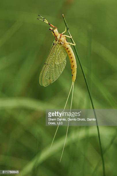 yellow mayfly - damlo does stock pictures, royalty-free photos & images