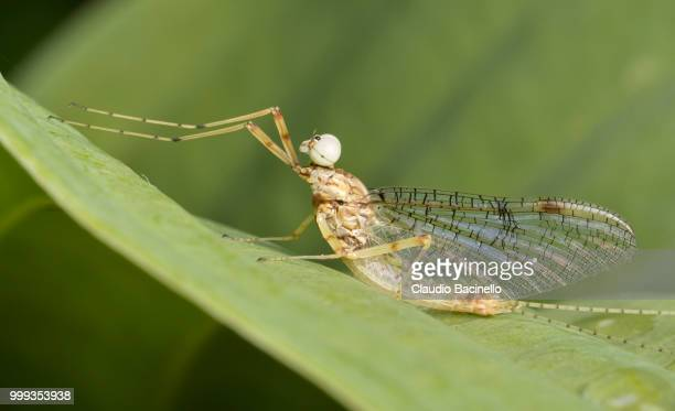 yellow mayfly - mayfly stock pictures, royalty-free photos & images