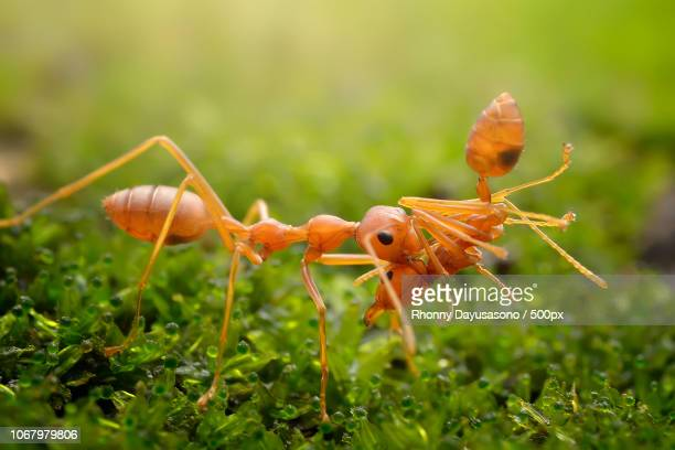 Yellow meadow ant (Lasius flavius) biting another