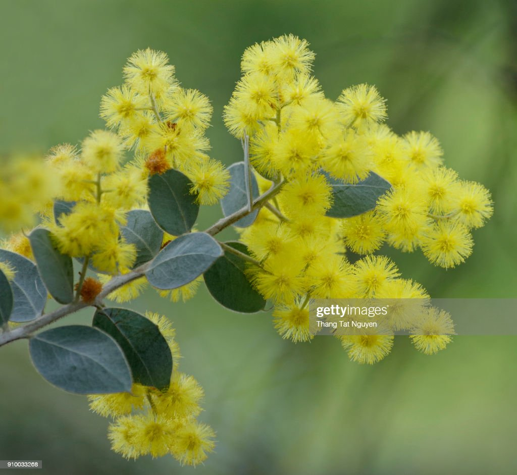 Yellow Mimosa Flower Stock Photo Getty Images