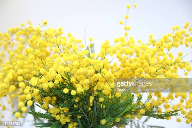 yellow mimosa flowers - acacia tree stock photos and pictures
