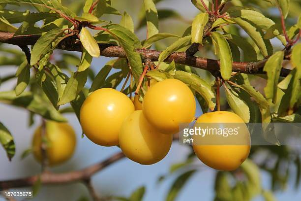 yellow mirabelle prunus cerasifera plums - pejft stock pictures, royalty-free photos & images