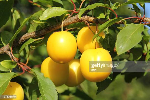 Yellow Mirabelle Prunus cerasifera plums