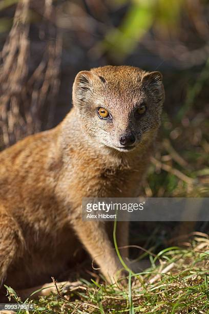 Yellow mongoose - Cynictis penicillata - alert on ground, controlled conditions