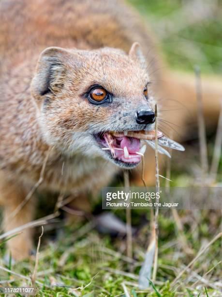 yellow mongoose eating a cricket - mangusta foto e immagini stock