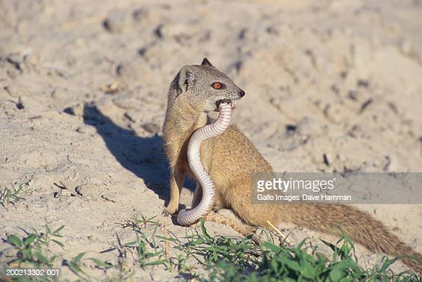 Yellow mongoose (Cynictis penicillata) eating small snake