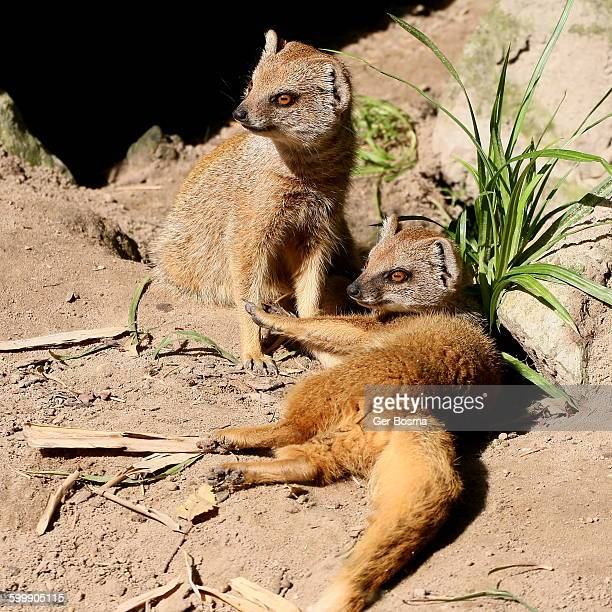 Yellow Mongooses