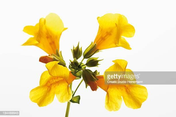 Yellow Monkey-flower (Mimulus luteus)