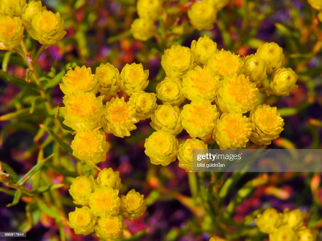 Yellow Mountain Flower Stock Photo Getty Images