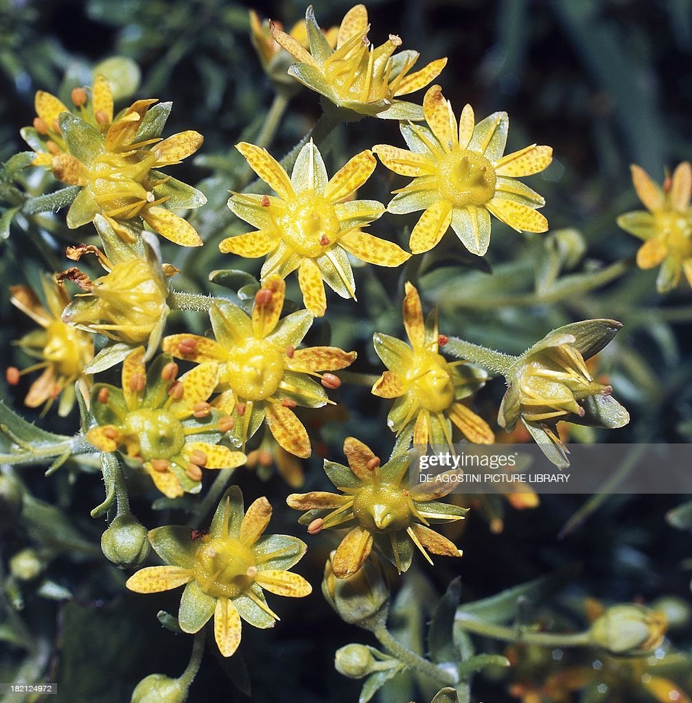 Yellow Mountain Saxifrage Or Yellow Saxifrage Pictures Getty Images