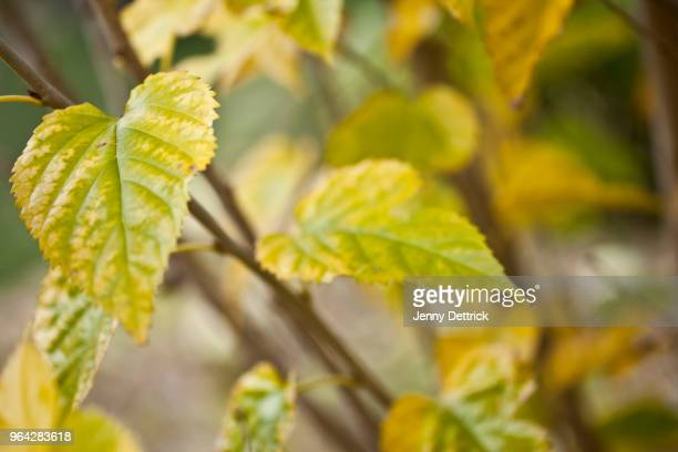 Yellow mulberry leaves