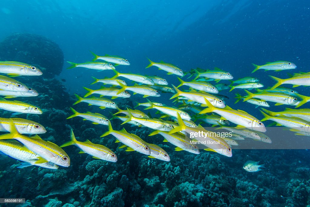 Yellow mullet fish in the coral reef : Stock Photo