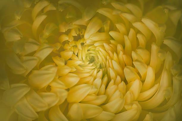 Yellow Mum Flower Close Up Wall Art