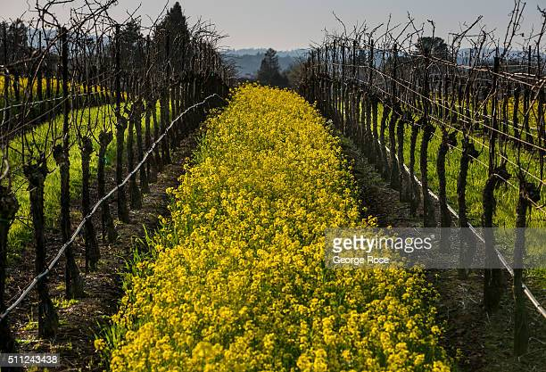 Yellow mustard sprouts after recent rains in dormant vineyards February 11 near Healdsburg California Much of Southern California has entered a fifth...