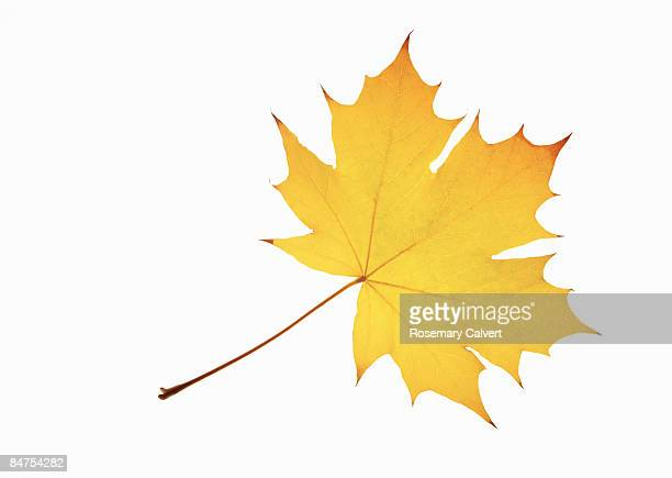 Yellow norwegian maple leaf.