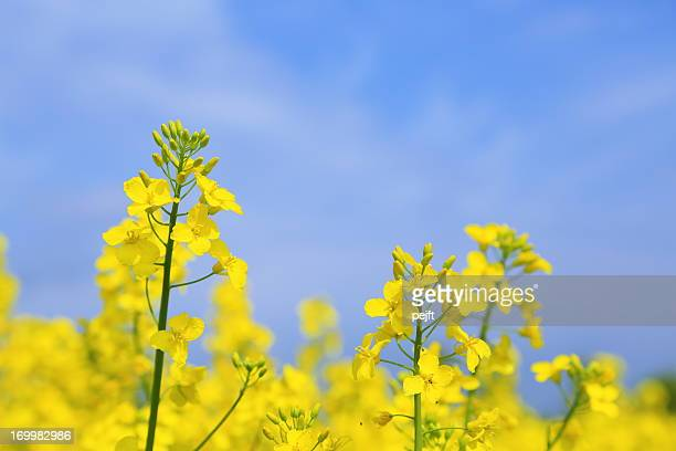 Yellow oil seed rape field (Brassica napus ssp.)