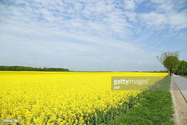 yellow oil seed rape field (brassica napus ssp.) - pejft stock pictures, royalty-free photos & images
