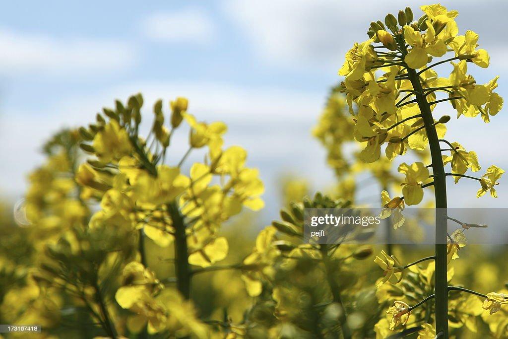 Yellow oil seed rape field (Brassica napus ssp.) : Stock Photo