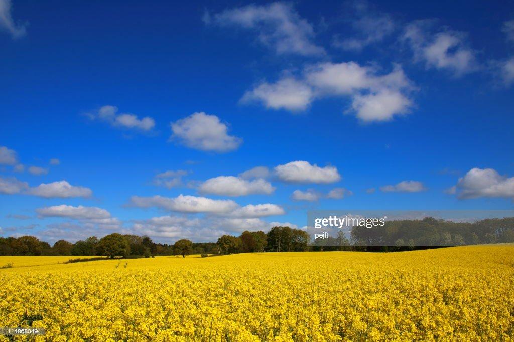 Yellow Oil seed rape on a field in Denmark (Raps in Danish) : Stock Photo