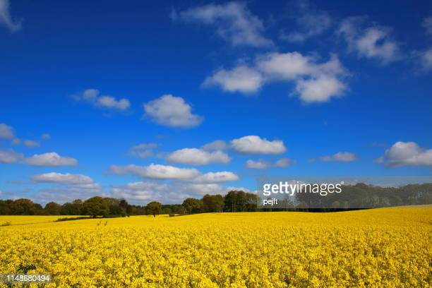 yellow oil seed rape on a field in denmark (raps in danish) - pejft stock pictures, royalty-free photos & images