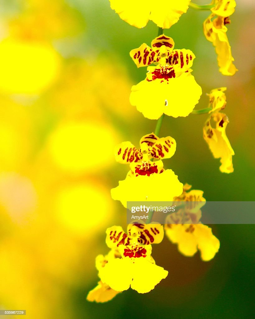 Yellow on Yellow Orchids : Stock Photo