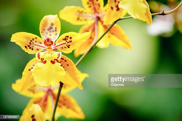 yellow oncidium orchid - ogphoto stock photos and pictures
