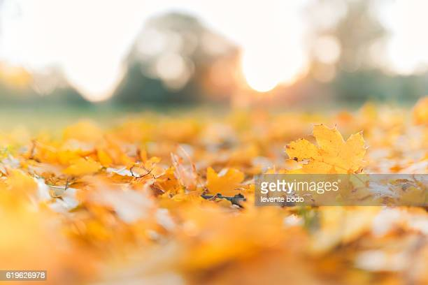 Yellow, orange and red beautiful autumn leaves in beautiful fall park. Golden sunset and bokeh background