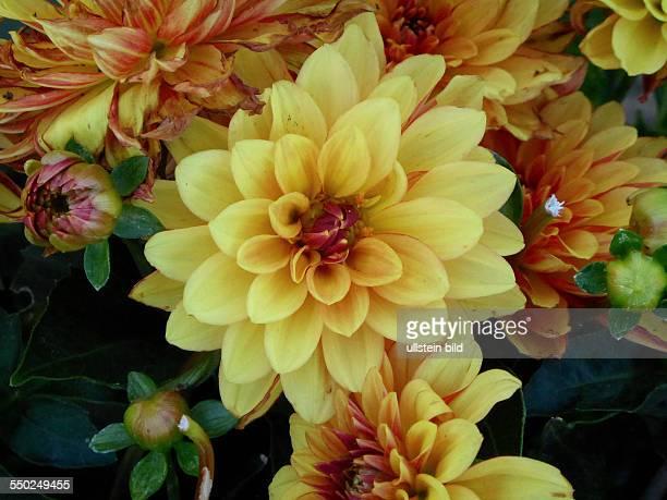 Yellow orange DahliaGelb Orange Dahlie Berlin Lichterfelde 230713