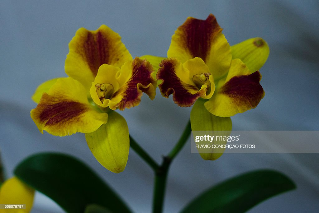 Yellow orchid flower : Stock Photo
