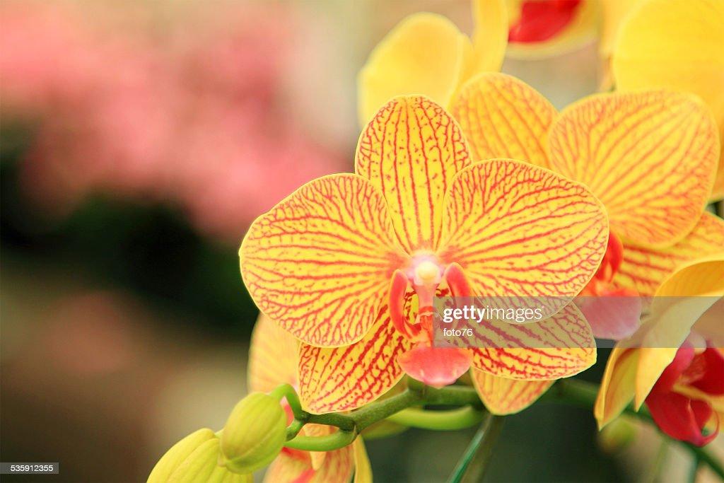 Amarillo Orchid : Foto de stock