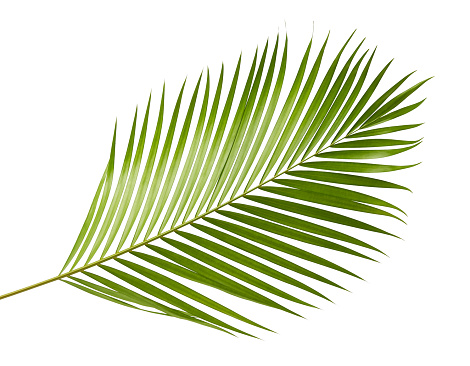 Yellow palm leaves (Dypsis lutescens) or Golden cane palm, Areca palm leaves, Tropical foliage isolated on white background with clipping path 913961644