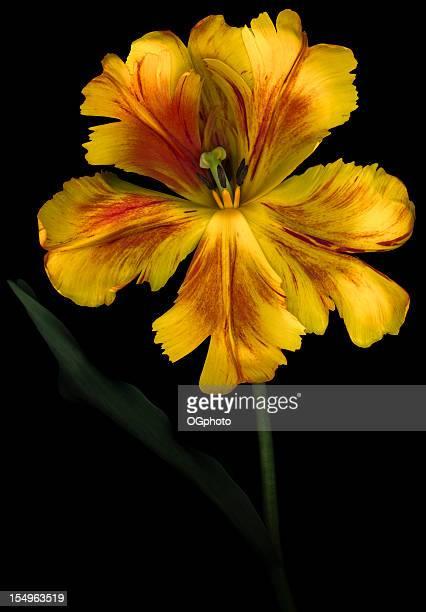 amarillo tulipán loro aislado en negro - exotismo fotografías e imágenes de stock