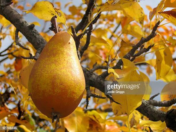 yellow pear - 雪梨 澳洲 個照片及圖片檔