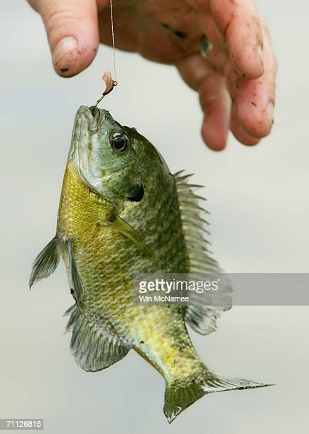 A yellow perch is pulled from the water during the Fishing on the Mall event to celebrate National Fishing and Boating Week June 5 2006 in Washington...