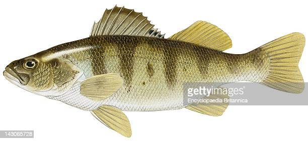 Yellow Perch Yellow Perch