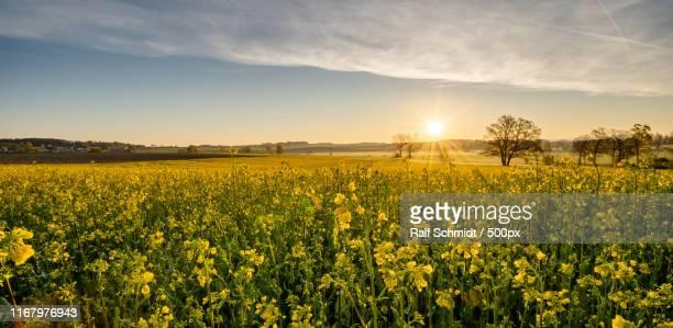 yellow - brassica napus l - fotografias e filmes do acervo