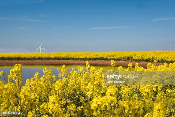 yellow - crucifers stock pictures, royalty-free photos & images