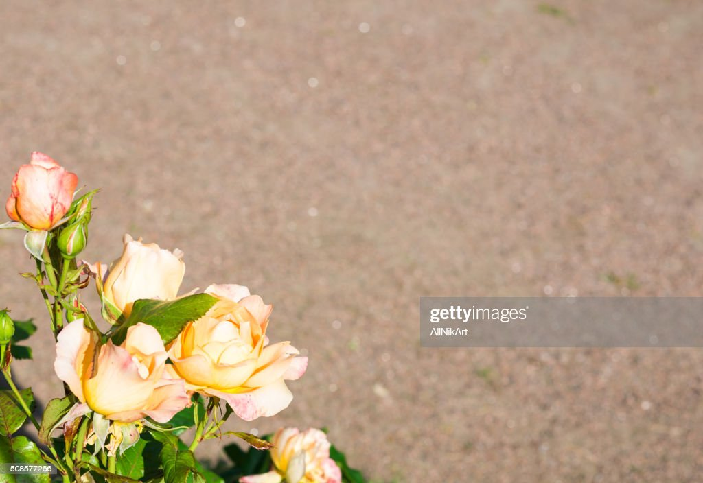 Yellow Pink Roses Floral background. Copy space : Stock Photo