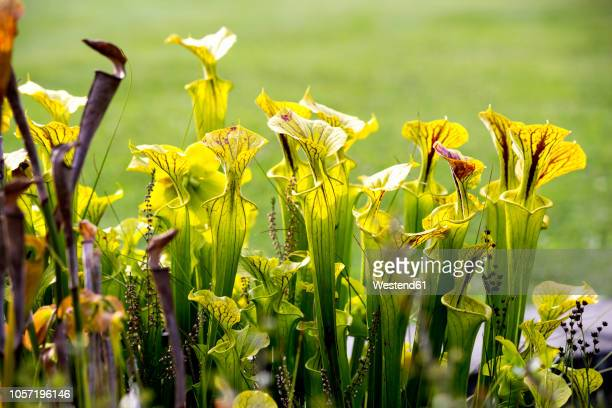 yellow pitcher plants - carnivorous stock pictures, royalty-free photos & images