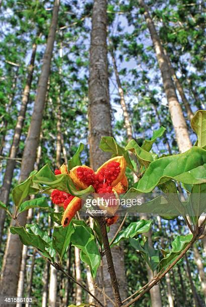 Yellow pittosporum, Pittosporum revolutum, fruit, naturally germinated understorey shrub in plantation of Hoop pines, Araucaria cunnninghamii, the...