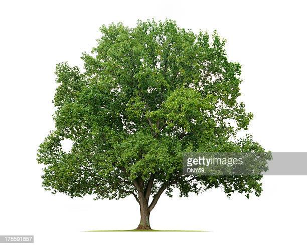 yellow poplar tree - single tree stock pictures, royalty-free photos & images
